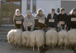 Sture Böcke - Die Schafe werden beim Wettbewerb von...pannt
